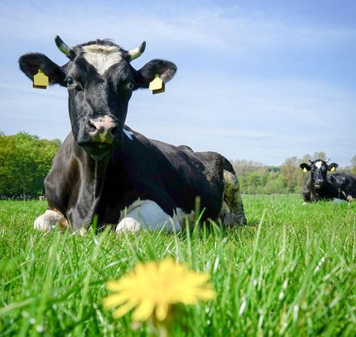 Ein Wellnessprogramm für Kühe !